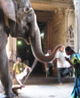 An elephant touching an Indian woman during a religious ceremony.